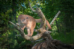 Adult Female Cougar Puma concolor Looks Down From Branches Stock Photo