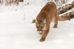 Adult Female Cougar Puma concolor Stalks Foward Winter stock images