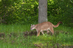 Adult Female Cougar (Puma concolor) Stalks Left Stock Photos