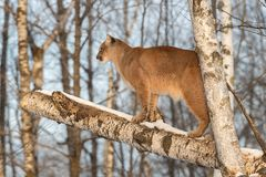 Adult Female Cougar Puma concolor Stands in Tree Facing Left Stock Photos