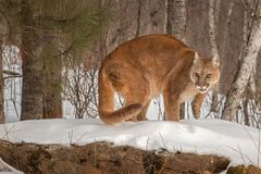 Adult Female Cougar Puma concolor Turns Paw Up Stock Images