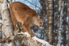 Adult Female Cougar Puma concolor Walks Down Birch Branch Royalty Free Stock Images