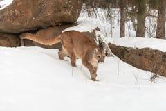 Adult Female Cougar Puma concolor Walks Forward Through Snow Stock Photos