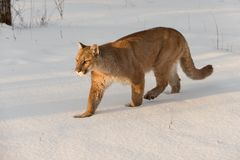 Adult Female Cougar Puma concolor Walks Left Through Snow Winter royalty free stock image