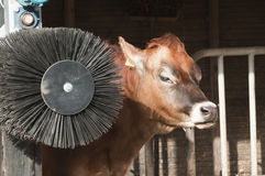 Adult female Dairy cattle Royalty Free Stock Photography
