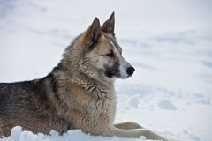 Adult female Eastern-Siberian husky lies on the snow stock images