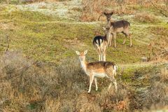 Wild fallow deer cascade sequenced in Dutch dune area on a steep dune slope. An adult female fallow deer with two calves on a dune slope curious and attentive Royalty Free Stock Photos