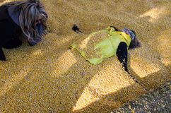 An adult female gets buried by another female friend in corn kernels royalty free stock photos
