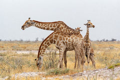 Adult female giraffe with calf grazzing Royalty Free Stock Photos