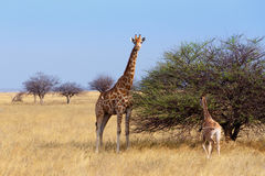 Adult female giraffe with calf grazzing on tree Stock Photos