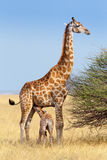 Adult female giraffe with calf suckling breast milk Stock Photography