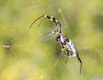 Dangerous Insects from Africa - Golden Orb Web Weaver Spider 2 Royalty Free Stock Photo