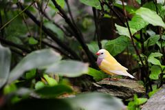 Adult Female Gouldian Finch Bird Royalty Free Stock Photo