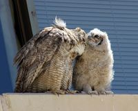 Mom Preening her Baby Owl stock images