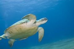 Adult female green turtle (chelonia mydas). Adult female green turtle swimming with Striped remora's (echeneis naucrates) attached. Naama Bay, Sharm el Sheikh royalty free stock photo
