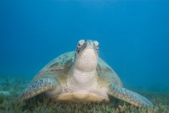Adult female Green turtle on seagrass, front view. Stock Images