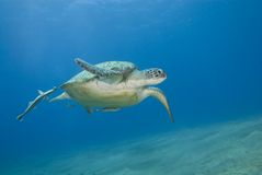 Adult female green turtle swimming. Adult female green turtle swimming with Striped remora's (echeneis naucrates) attached. Naama Bay, Sharm el Sheikh, Red Sea royalty free stock photos