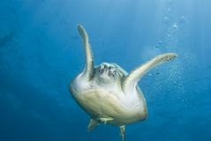 Adult female Green turtle swimming, frontal view. Stock Photo