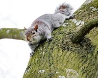 Adult female Grey Squirrel seen watching, seen near its drey on a large tree. stock photo
