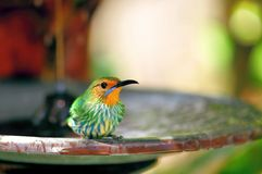 Adult Female Honeycreeper in birdbath Royalty Free Stock Images