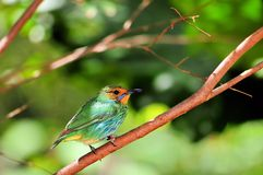 Adult Female Honeycreeper Stock Image
