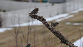 House finches land on a branch while one eats grub then flies away. An adult, female house finch eats grub from a tree branch. She is joined by a male who looks stock footage
