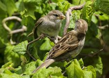 An adult female house sparrow passer domesticus feeding a baby royalty free stock photo