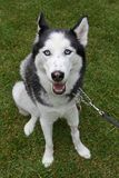 Adult female husky Royalty Free Stock Images