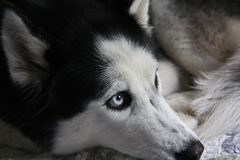 Adult female husky. With blue eyes and thick hair Royalty Free Stock Photography