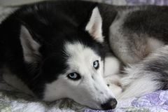 Adult female husky. With blue eyes and thick hair Stock Photography