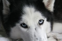 Adult female husky Royalty Free Stock Photography