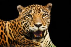 Adult Female Jaguar sitting on the rock looking Stock Photo