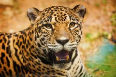 Adult Female Jaguar sitting on the rock looking Royalty Free Stock Images