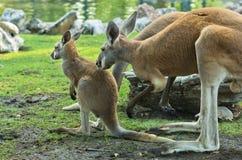 An adult female kangaroo watching her joey Stock Images