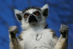 Adult katta lemur in portrait Stock Photography
