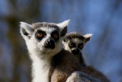 Adult katta lemur with sibling in portrait Royalty Free Stock Photos