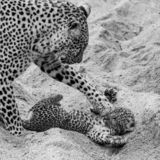 Adult female leopard and cub playing in the sand at Sabi Sands safari park, Kruger, South Africa stock image
