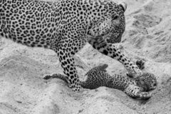 Adult female leopard and cub playing in the sand at Sabi Sands safari park, Kruger, South Africa royalty free stock images