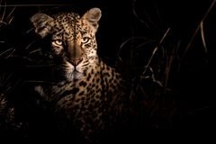 Adult female leopard very alert during night. Adult female leopard staring and listening for any movements in tall grass royalty free stock photos