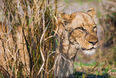 The adult female lion hides in a high grass. Portrait of a lion ( Panthera leo ). Africa. Zambia Royalty Free Stock Image