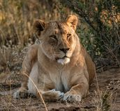 Adult female lions lies down, but constantly scans the horizon. For food or threats in Botswana royalty free stock photos