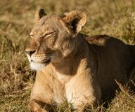 Adult female lions lies down, but constantly scans the horizon. For food or threats in Botswana stock photos