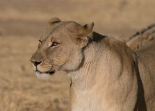 Adult female lions lies down, but constantly scans the horizon. For food or threats in Botswana royalty free stock images