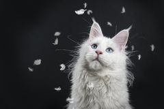 Adult female Maine Coon cat with feathers Stock Photo