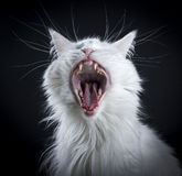 Adult female Maine Coon cat Royalty Free Stock Image