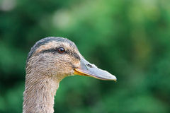 Adult female Mallard duck Stock Photo