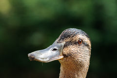 Adult female Mallard duck Stock Photography