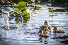 Adult Female Mallard Duck and Ducklings (Anas platyrhynchos). Float in pond while one duckling splashes beneath the water at Dolph Nature Area in Ann Arbor Royalty Free Stock Photo