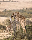 Adult female Masai Giraffe with calf Stock Images