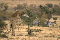 Adult female Masai Giraffe Stock Image